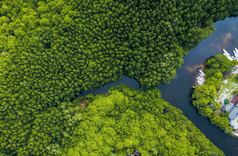 Mangrove Forest, Aerial Photo