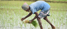 Man working in rice paddy